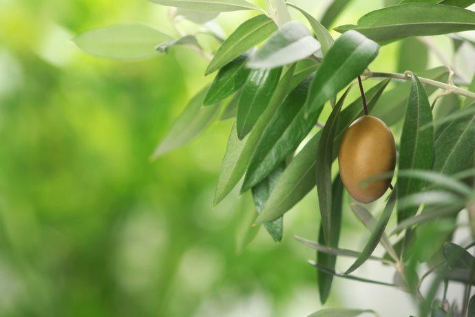 decotto con foglie di olivo 1