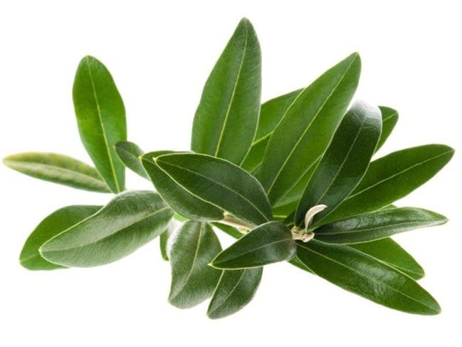 foglia di olivo 1