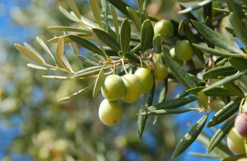 foglie di olivo colesterolo 1
